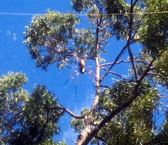 Large spider Chermside Hills reserve